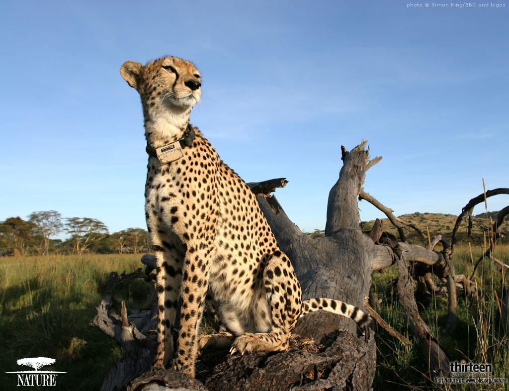 cheetahs wallpaper 02
