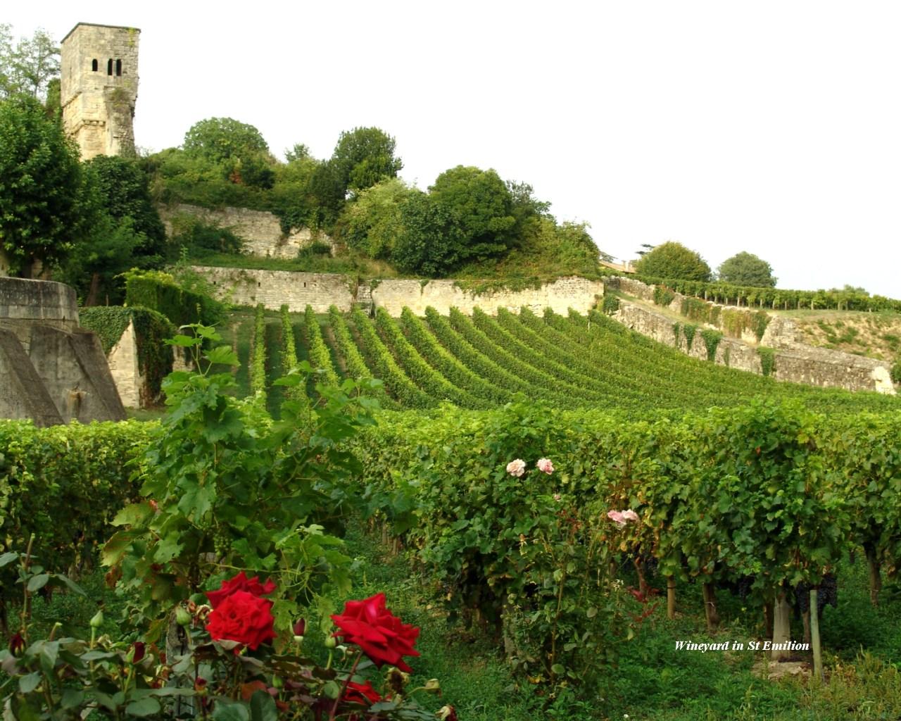Wineyard in St Emilion