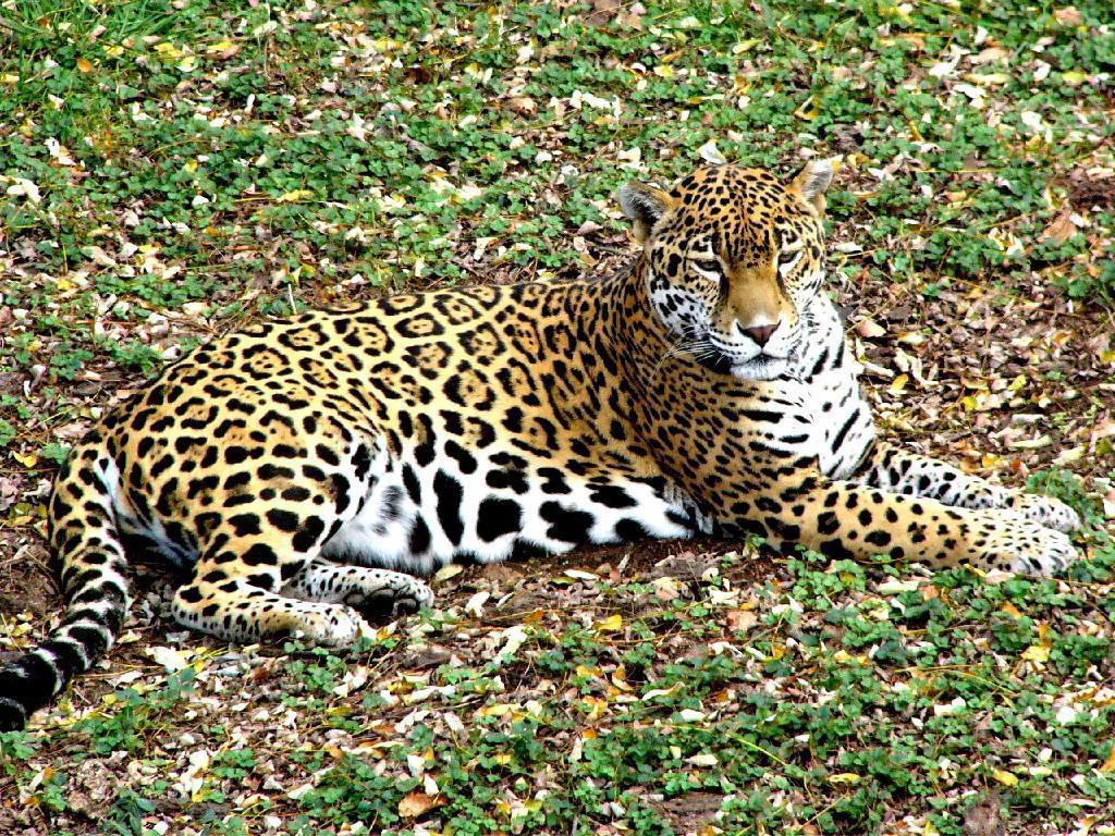 P 1090271 Jaguar blending in with